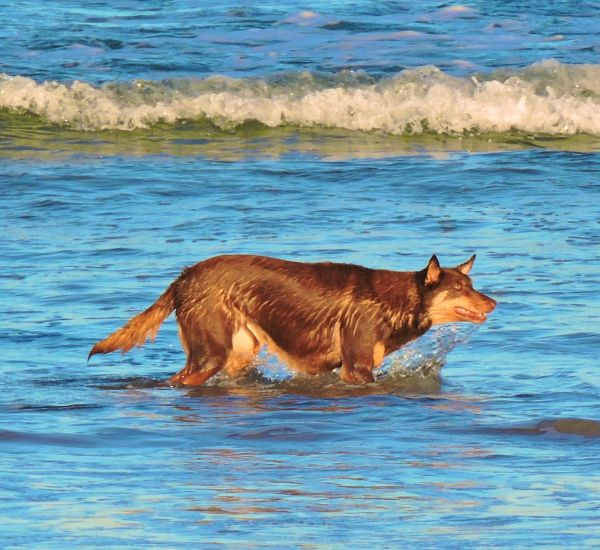 Doggie, Kelpie, animal story,flash fiction