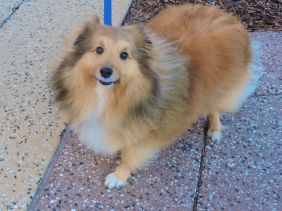 Sheltie, beautiful dog, rescue,