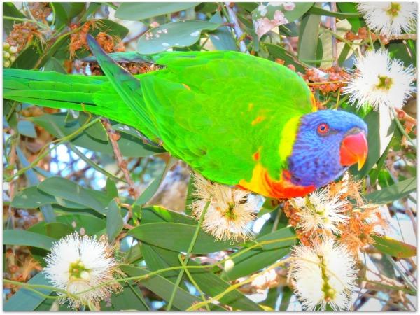 beautiful bird, rainbow lorikeet.