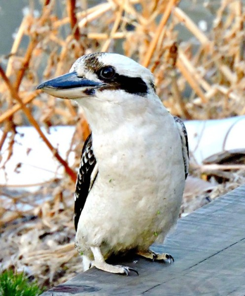 funny, kookaburra, you won't believe what I heard, fantastic, amazing,