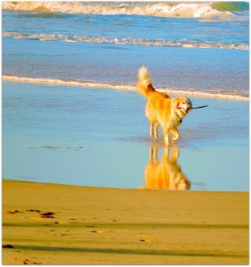 Beautiful dog, fetch, fun, beach