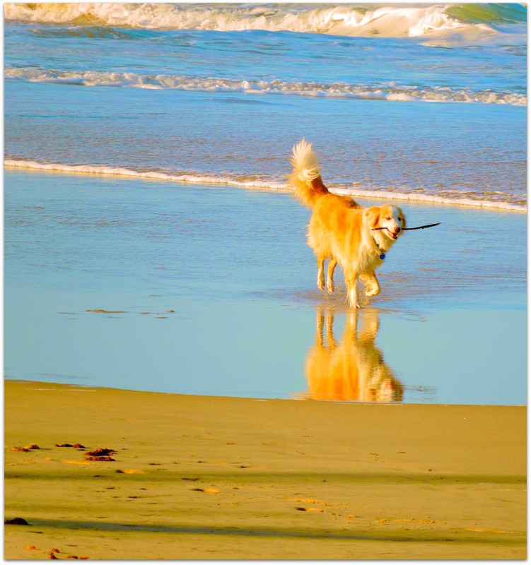Beautiful dog, fetch, fun, beach